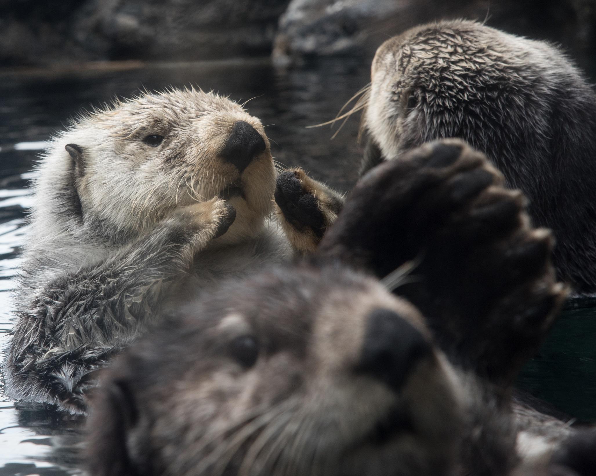 CJ Casson Sea otter at Seattle Aquarium